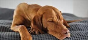 A relaxed dog lying down. Using relaxing music for dogs will keep your pet feel safe and happy.